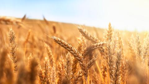 Dia do Trigo: informações e curiosidades sobre um dos cereais mais consumidos no mundo